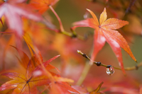 Maple leaves, Kyoto, Kansai (Western Province), Honshu, Japan, Asia