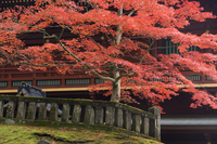 Japanese maple, Tosho-gu Shrine, Nikko, Central Honshu (Chubu), Japan, Asia