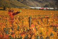 Vineyard, Queenstown, Central Otago, South Island, New Zealand, Pacific