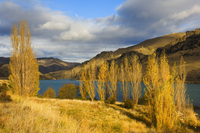 Poplar trees and Lake Dunstan, Cromwell, Central Otago, South Island, New Zealand, Pacific