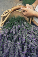 Lavender harvest, Vashon, Washington state, United States of America, North America
