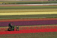 Working in the tulip rows in the bulb fields, near Lisse, Holland (The Netherlands), Europe 20025351293| 写真素材・ストックフォト・画像・イラスト素材|アマナイメージズ
