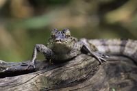 Young spectacled caiman (Caiman crocodilus) in captivity, from sub-tropical South America