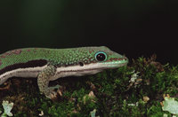 Lined day gecko (Phelsuma lineata), in captivity, from Madagascar, Africa