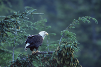Bald eagle (Haliaeetus leucocephalus), Cordova, Alaska, United States of America, North America 20025351320| 写真素材・ストックフォト・画像・イラスト素材|アマナイメージズ
