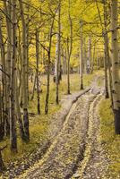 Two-track lane through fall aspens, near Telluride, Colorado, United States of America, North America