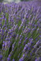 Lavender fields, Provence, France, Europe 20025351605  写真素材・ストックフォト・画像・イラスト素材 アマナイメージズ