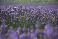 Lavender fields, Provence, France, Europe 20025351606  写真素材・ストックフォト・画像・イラスト素材 アマナイメージズ