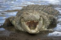 Nile crocodile (Crocodylus niliticus) on shore of Mara River with open jaws, Masai Mara National Reserve, Kenya, East Africa, Af