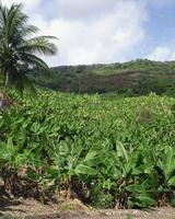 Bananas, Barbados, West Indies, Caribbean, Central America