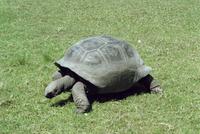 Giant tortoise, Curieuse Island, Seychelles, Indian Ocean, Africa