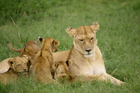 Lioness and cubs, Masai Mara National Reserve, Kenya, East Africa, Africa
