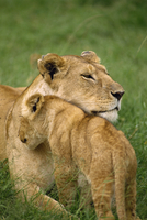 Lioness and cub, Masai Mara National Reserve, Kenya, East Africa, Africa