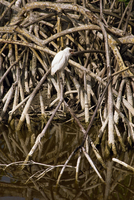Bird perched in mangroves, Jamaica, West Indies, Caribbean, Central America 20025352417| 写真素材・ストックフォト・画像・イラスト素材|アマナイメージズ