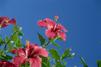 Pink hibiscus flowers, Bermuda, Central America 20025352460| 写真素材・ストックフォト・画像・イラスト素材|アマナイメージズ