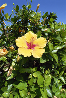 Hibiscus flowers, Hotel Tecini, Santiago, La Gomera, Canary Islands, Atlantic, Spain, Africa 20025352528| 写真素材・ストックフォト・画像・イラスト素材|アマナイメージズ
