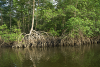 Caroni Mangrove Swamp and Nature Reserve, Trinidad, West Indies, Caribbean, Central America 20025352557| 写真素材・ストックフォト・画像・イラスト素材|アマナイメージズ