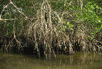 Caroni Mangrove Swamp and Nature Reserve, Trinidad, West Indies, Caribbean, Central America 20025352558| 写真素材・ストックフォト・画像・イラスト素材|アマナイメージズ