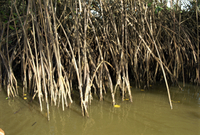 Caroni Mangrove Swamp and Nature Reserve, Trinidad, West Indies, Caribbean, Central America 20025352559| 写真素材・ストックフォト・画像・イラスト素材|アマナイメージズ