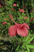 Pink hibiscus, Baros, Maldive Islands, Indian Ocean, Asia