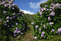 Hydrangeas, a feature of the landscape of the island, Sao Jorge, Azores, Portugal, Europe