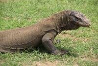 Komodo Dragon, Komodo Island, Indonesia, Southeast Asia, Asia