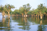 Mangroves at end of Lake Tonle Sap, near Siem Reap, Cambodia, Indochina, Southeast Asia, Asia 20025352906| 写真素材・ストックフォト・画像・イラスト素材|アマナイメージズ