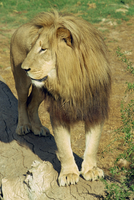 A lion at the Cango Wildlife Ranch, South Africa, Africa