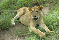 A young lion, South Africa, Africa