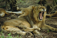 Lion, Umfolozi game reserve, South Africa, Africa