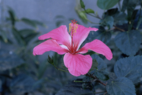 Hibiscus flower from His Highness's hibiscus garden, Udai Vilas Palace, Dungarpur, Rajasthan state, India, Asia