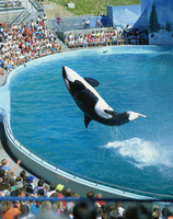 Performing killer whale, Marine World Africa USA, California, United States of America, North America 20025353185| 写真素材・ストックフォト・画像・イラスト素材|アマナイメージズ