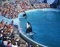 Performing killer whales spray crowd, Marine World Africa USA, California, United States of America, North America