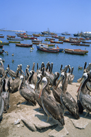 Pelicans by the harbour, Arica, Chile, South America