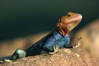 Close-up of an Agama Lizard taken in Tsavo National Park, Kenya, East Africa, Africa