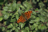 Comma (Polygonia c-album) butterfly in August, Devon, England, United Kingdom, Europe