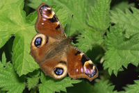 Peacock butterfly (Nymphalis io) on nettles, Devon, England, United Kingdom, Europe