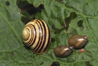 White-lipped banded snail and two moss snails eating leaf, United Kingdom, Europe
