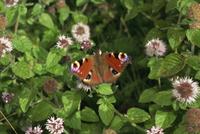 Peacock butterfly (Inachis Io), Devon, England, United Kingdom, Europe