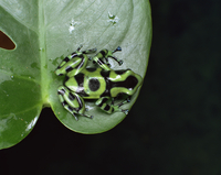 Poison arrow tree frog (Dendrobates auratus)