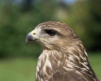 Head of a buzzard (Buteo buteo)