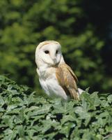 Portrait of a barn owl (Tyto alba)