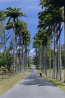 Palm lined road to Bathsheba, Barbados, West Indies, Caribbean, Central America 20025353561| 写真素材・ストックフォト・画像・イラスト素材|アマナイメージズ