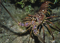 Close-up of a spiny lobster, Caribbean Sea, Central America