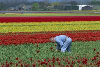 Tulip fields near Keukenhof, Holland, Europe