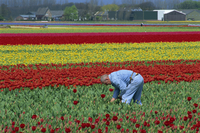 Tulip fields near Keukenhof, Holland, Europe 20025353780| 写真素材・ストックフォト・画像・イラスト素材|アマナイメージズ