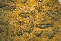 Trilobites (Platypectoides), fossils from the Ordovician, Dades Valley, Morocco, North Africa, Africa 20025354052| 写真素材・ストックフォト・画像・イラスト素材|アマナイメージズ