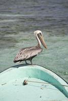 Pelican, Tobaco Caye, Belize, Central America 20025354269| 写真素材・ストックフォト・画像・イラスト素材|アマナイメージズ