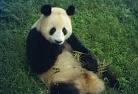 Giant panda, Sichuan Province, China, Asia 20025354294| 写真素材・ストックフォト・画像・イラスト素材|アマナイメージズ