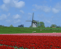 Field of tulips with grazing sheep and a windmill in the background, near Amsterdam, Holland, Europe